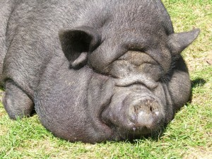 「NINOO」という名前の豚さん。可愛い!