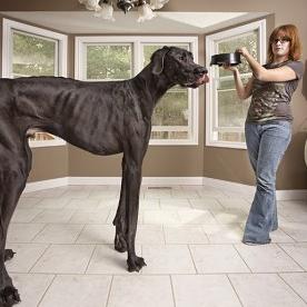 世界最大の犬が巨大すぎて死亡 故・ジャイアントジョージの巨大写真
