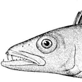 食べると絶対にウ●コもらす魚? 超絶美味だがオムツ必須の深海魚