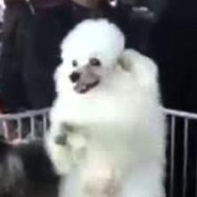 中国で二本足歩行の犬が見つかる 突然変異かと話題のプードル