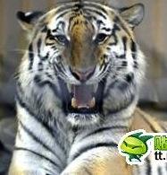 虎が飼育員を襲った原因はキムチ? 中国メディアの記事が波紋呼ぶ