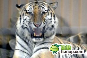 ※虎の殺処分をめぐり議論が紛糾している。