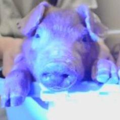 クラゲDNA注入で「光る豚」作られる 暗闇で発光するトンカツ、カツ丼も