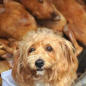 中国犬肉祭りで1万頭の犬が鍋にされる 愛犬家が中国全土から集結