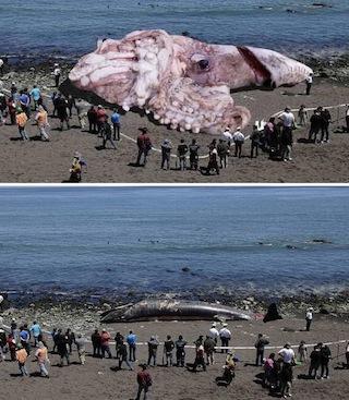 ※下のクジラの写真を合成して、巨大イカ打ち上げられ写真が作られた。