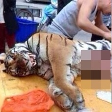 中国・路上で虎を解体して肉を売る 世界中から非難が殺到