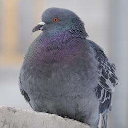 中国PM2.5で伝書鳩レース中に大半死亡か 行方不明の鳩が相次ぐ