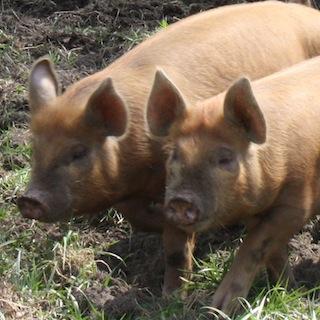豚レバ刺しで脳に寄生虫の危険性も 脳に虫入れば致死率60〜90%