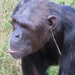 チンパンジーに草をまとうファッション流行 霊長類のファッションリーダーに