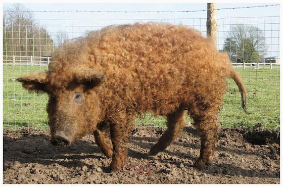 ※これがマンガリッツァ豚。毛がふわふわのピッグ界のプードルです。