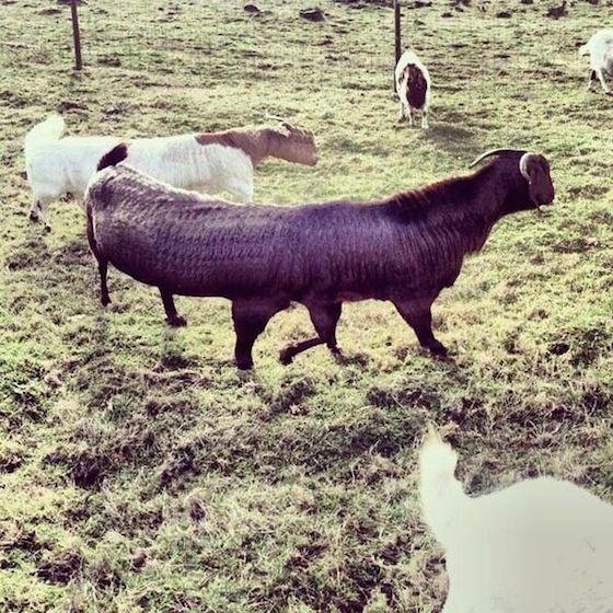 6本足のヤギ。