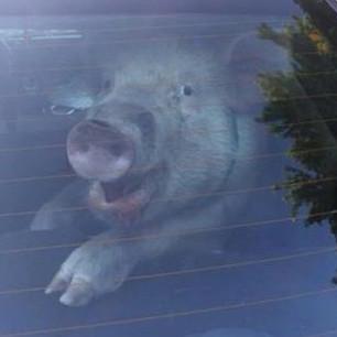 子豚が脱走逮捕のパトカー姿が可愛いすぎる 後部座席に、めちゃくちゃな行為をして話題に
