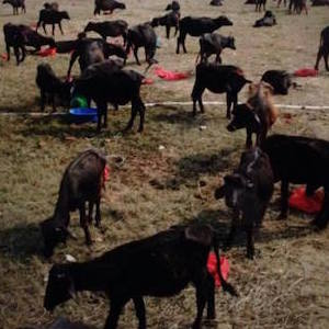 25万匹の動物の首はねる「断頭祭」中止に ネパール・血の奇祭に国際圧力も