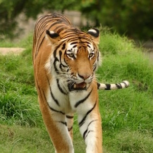 虎イメージアイコン