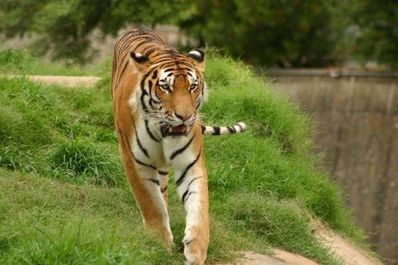 虎イメージ