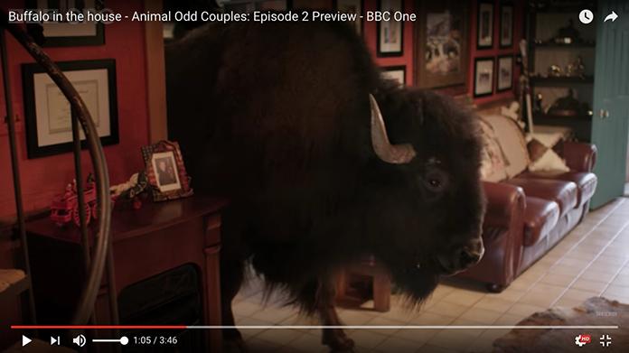 buffalo-01