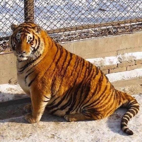 太りすぎ虎イメージ2