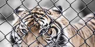 weibo-tiger-00