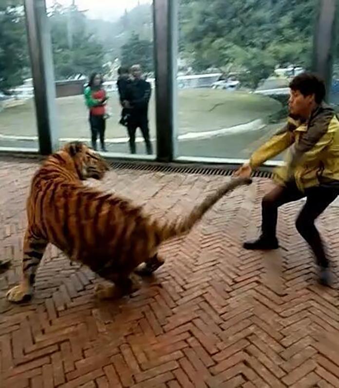 weibo-tiger-01