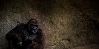 gorilla-cheetos-02
