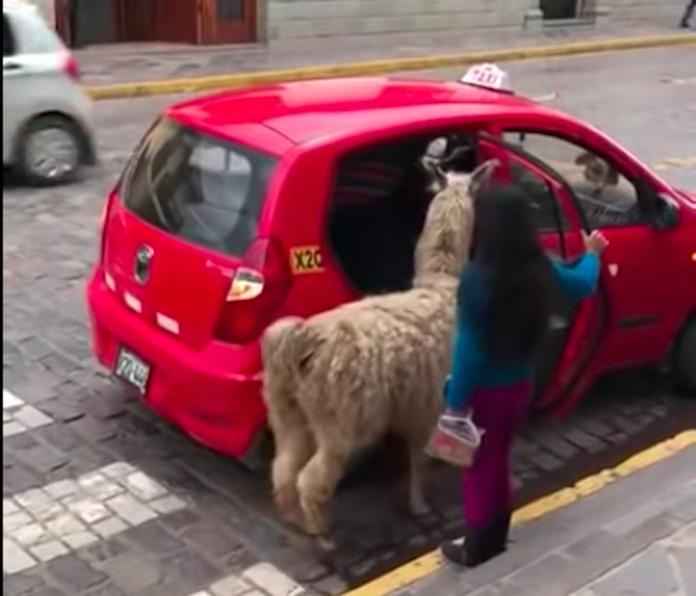 ペルーではラマもタクシーに乗る! 可愛すぎる動物映像に世界が悶絶