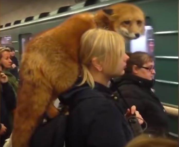 ロシアで肩にキツネ乗せた女性03