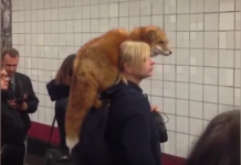 ロシアで肩にキツネ乗せた女性01