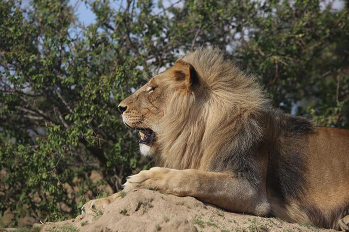 ジンバブエのライオン